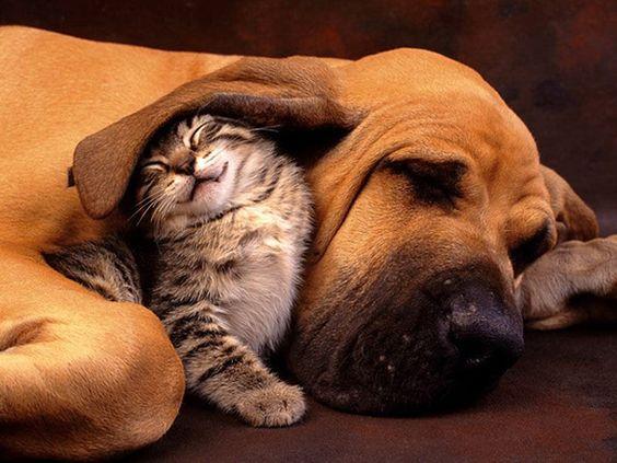 Cat sleeping under a dog's ear