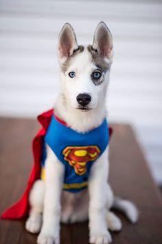 Superman costume for halloween for your husky