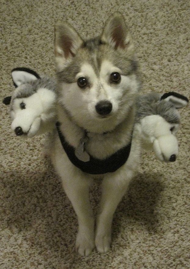 Three headed husky costume for halloween