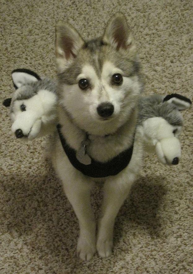 Three headed husky costume for halloween