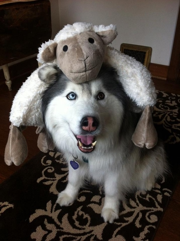 Sweet sheep costume for your Husky for Halloween