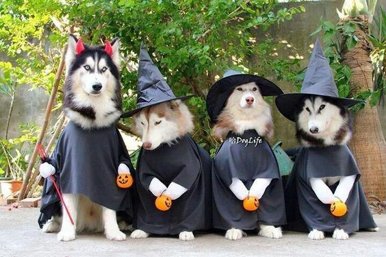 Cute husky witches