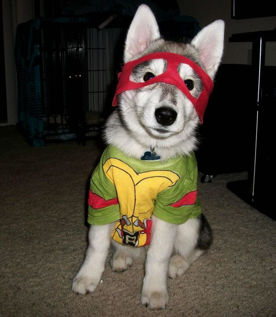 Turtle Ninja Costume for your loved husky pet