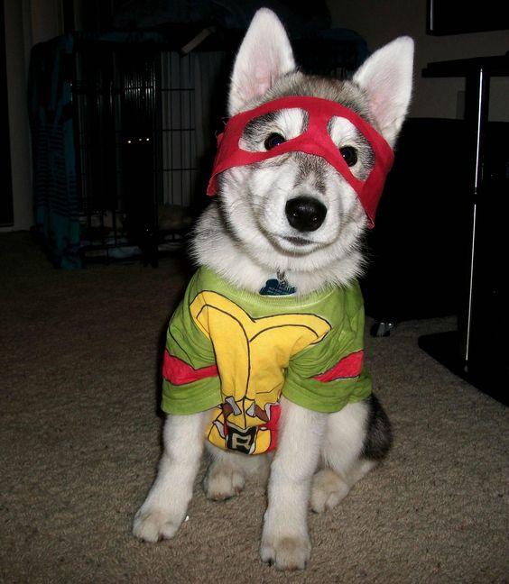 Turtle Ninja Costume for your loved husky pet