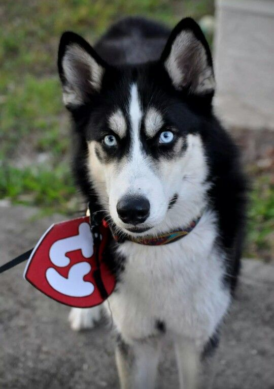 ty costume idea for your siberian husky