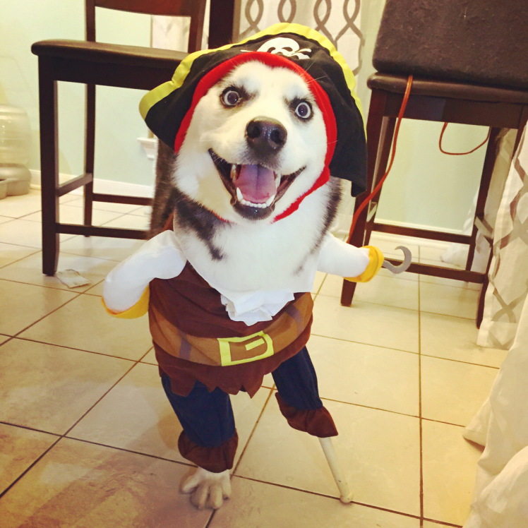 Happy Husky on Halloween costume