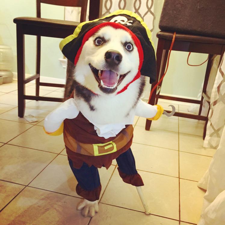 Happy Husky on Halloween costume