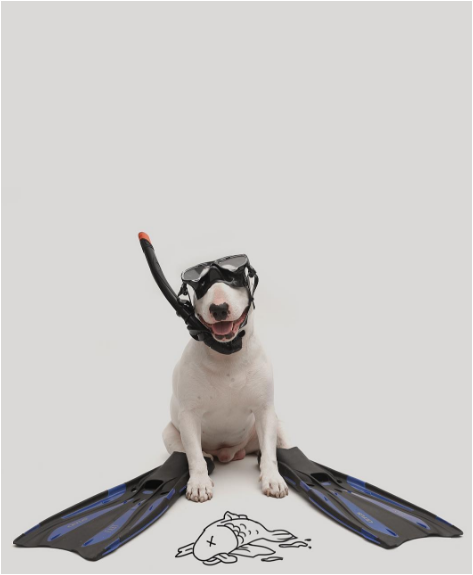 Jimmy the bullterrier diving