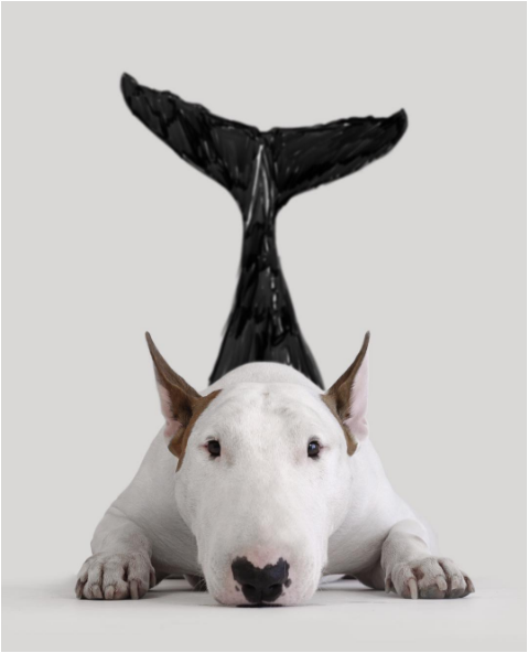Jimmy the bullterrier as a dolphin raising awareness against their killings