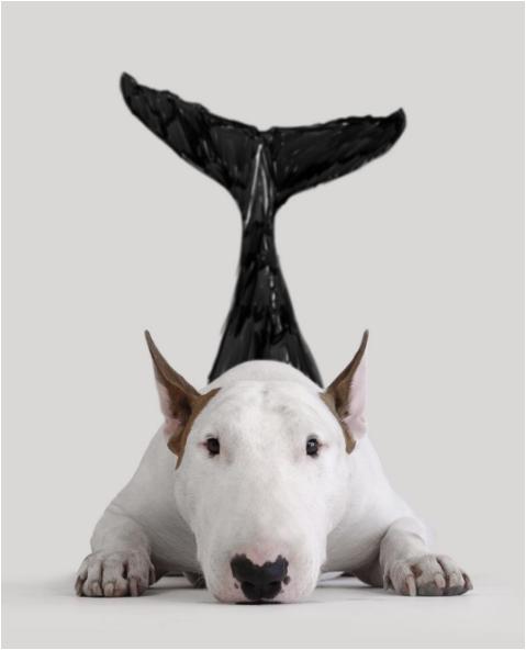 Jimmy the bullterrier as a dolphin raising awareness against their killings