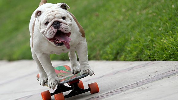 Otto the bulldog
