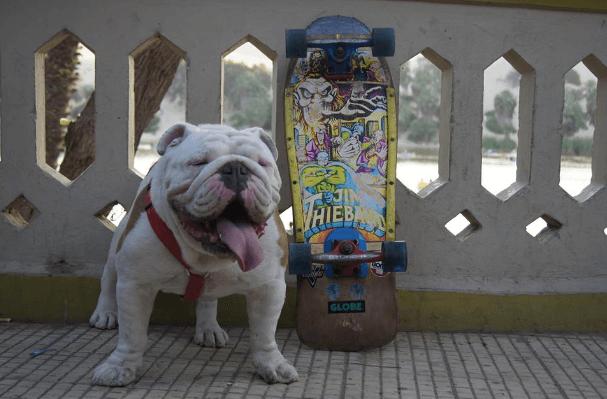 otto-bulldog09
