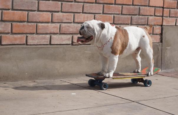 otto-bulldog54