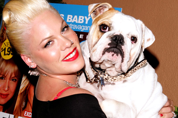 The amazing singer Pink adores her English Bulldog