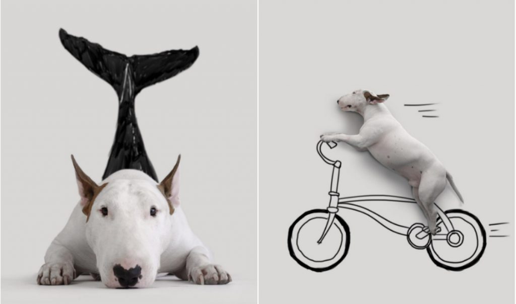 Bull Terrier Dog Breed Information - IDW