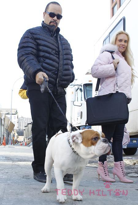 Famous rapper Ice T walking his bulldog