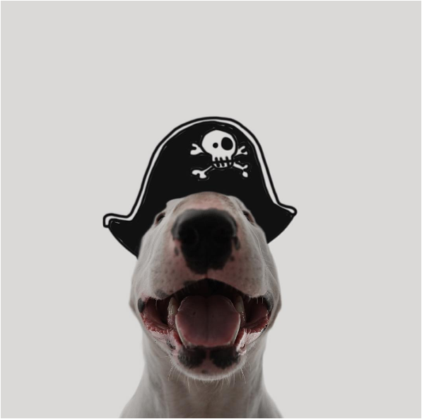 Pirate Jimmy the bullterrier
