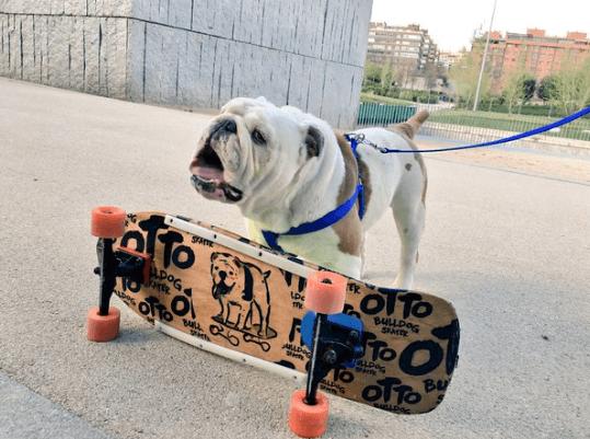 ottobulldog14398
