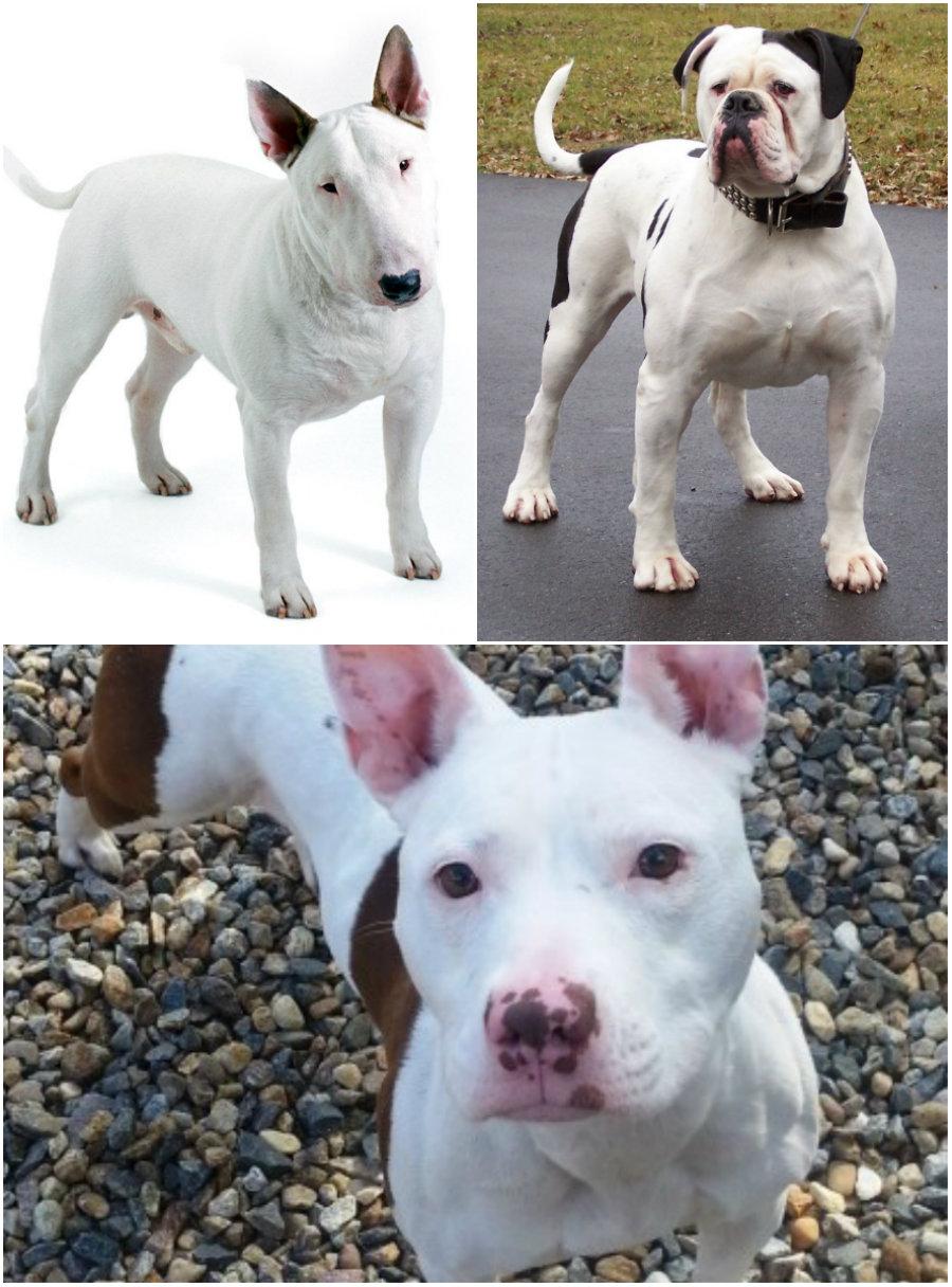 BD Terrier dog hybrid