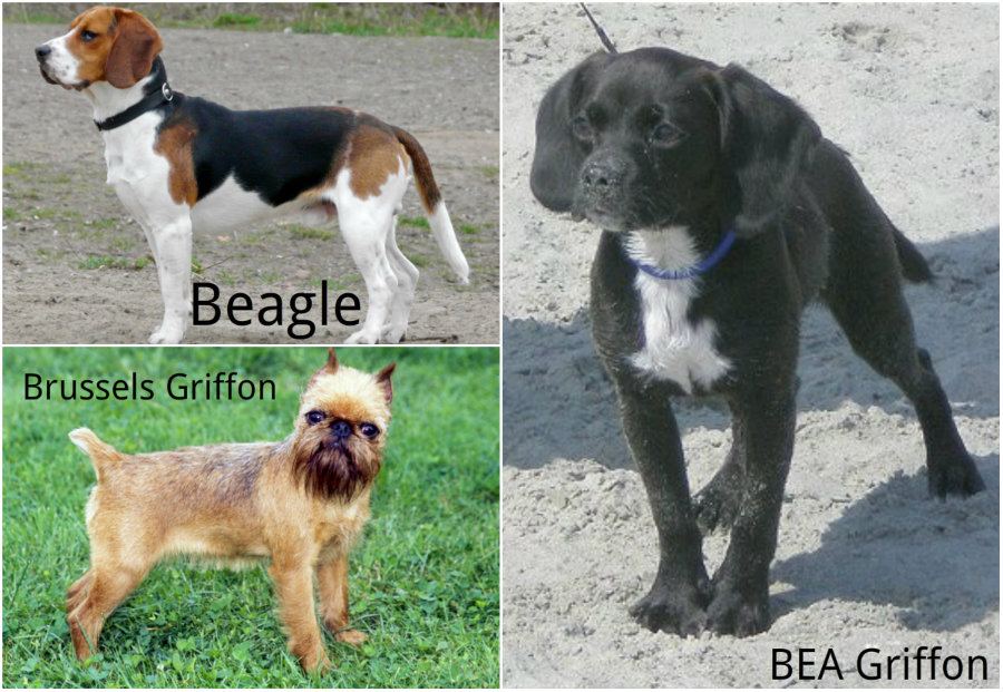 BEA Griffon dog hybrid