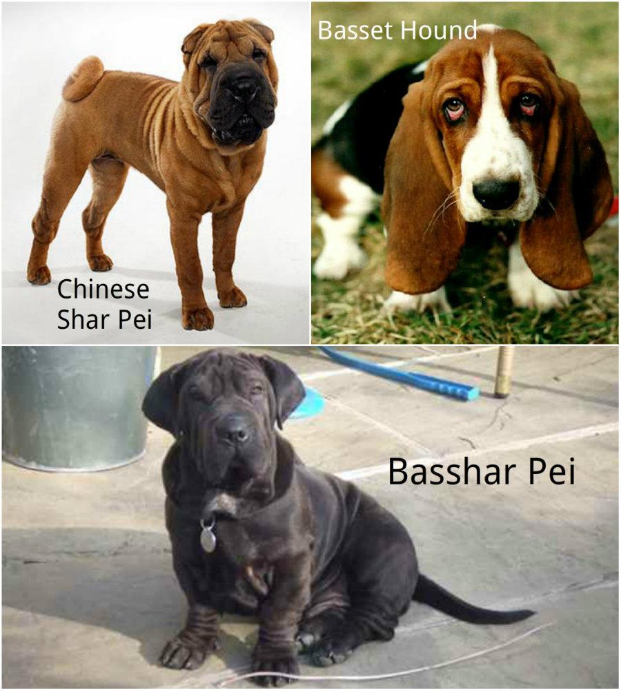 Bashar Hund hybrid