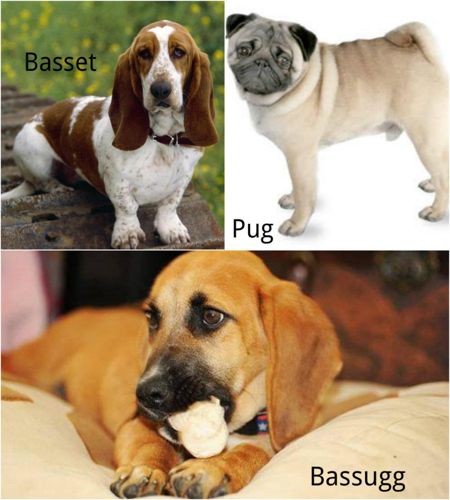 Bassug Hybrid dog