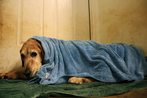 Watch for signs of hypothermia on dogs after walks on cold days
