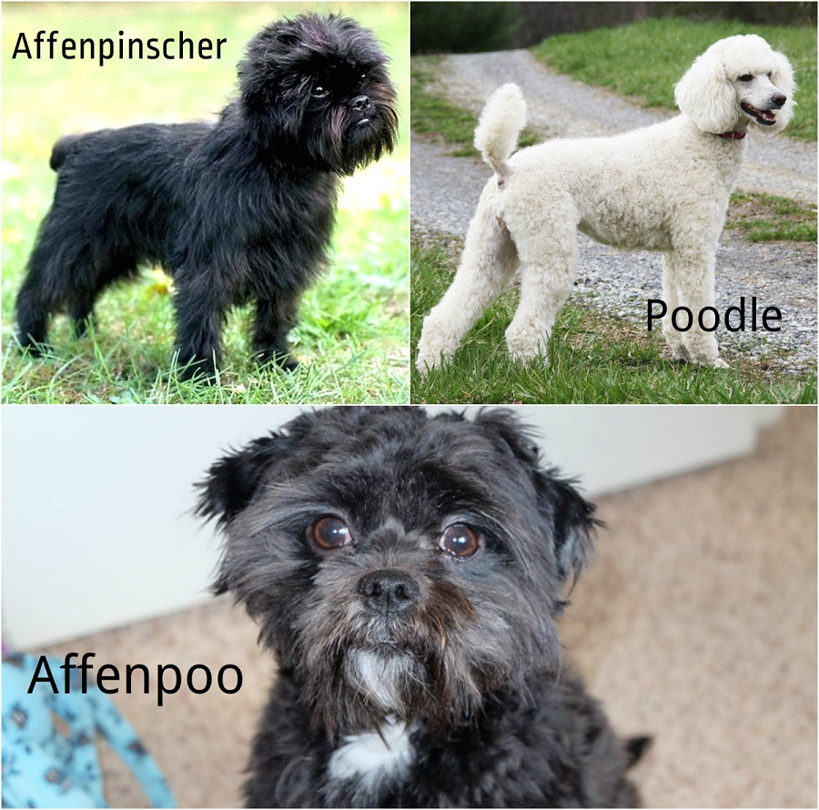 Affenpinscher and poodle hybrid
