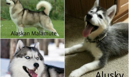 Siberian Husky and Alaskan Malamute hybrid