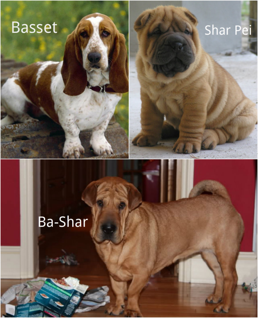 Basset and Shar Pei Hybrid