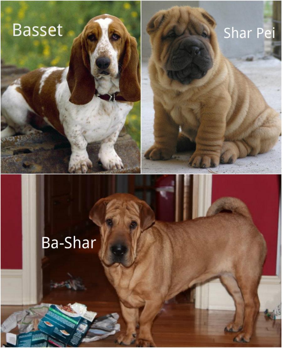Basset and Shar Pei Hybrid