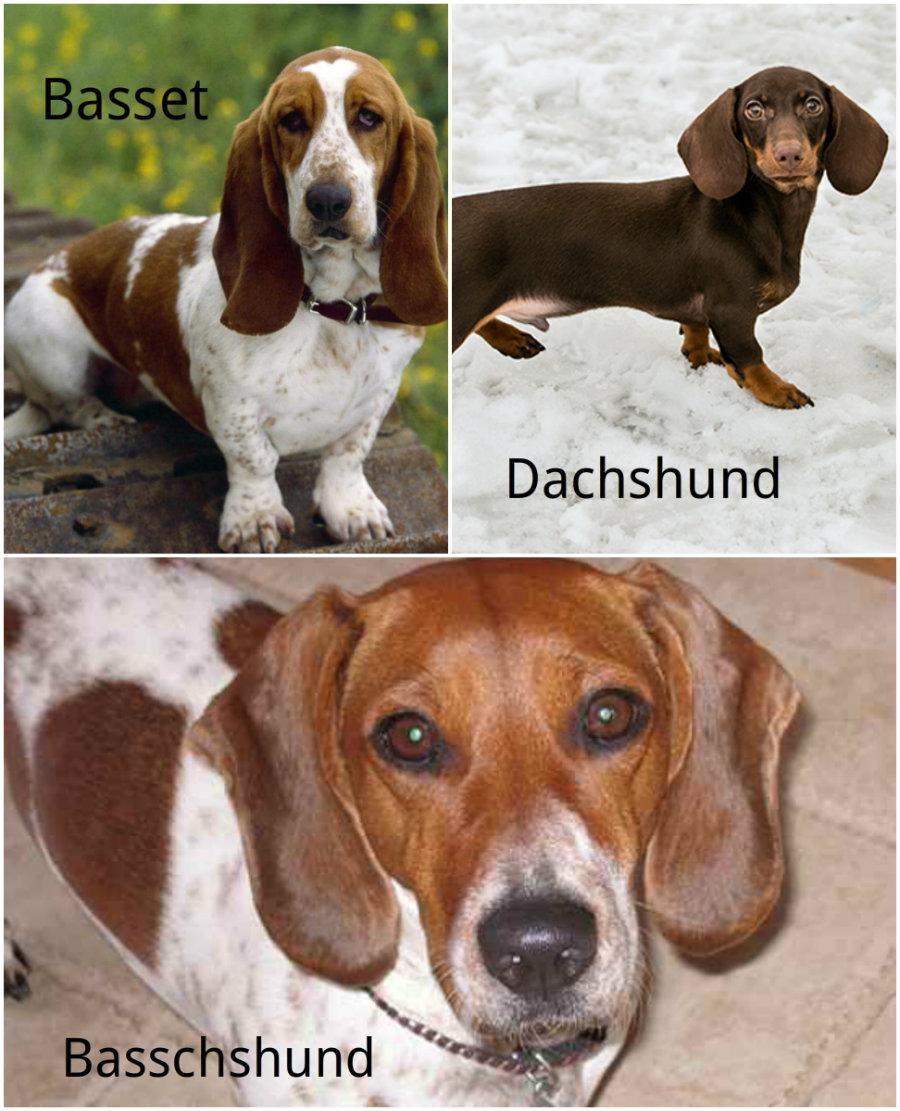 Basschund dog hybrid