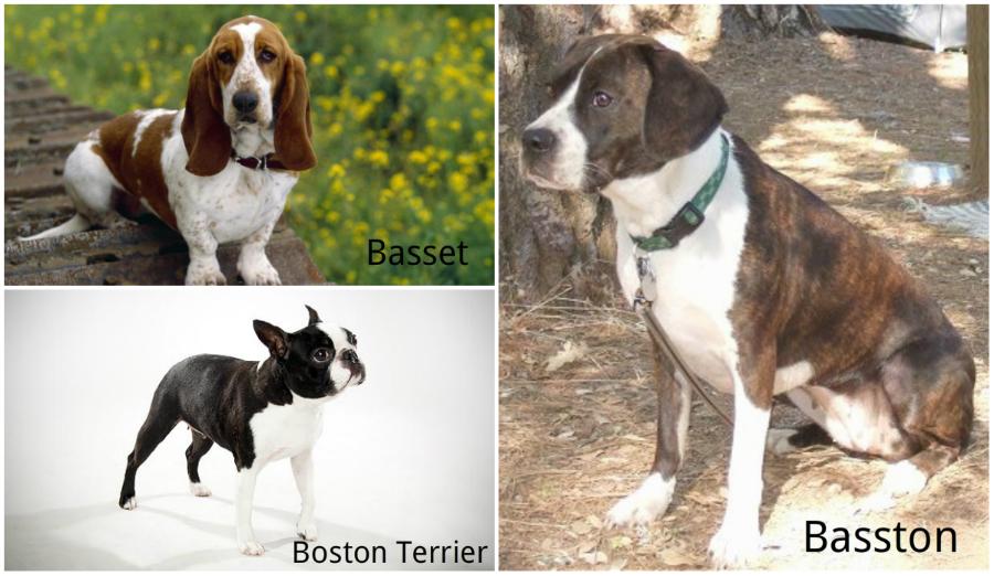 Basston dog hybrid