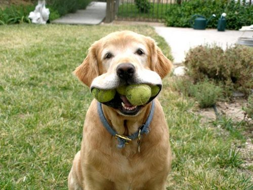 Dog keeping the balls for himself