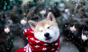 Source: https://blog-photos.dogvacay.com/wp-content/uploads/2013/02/shibasnow.jpeg