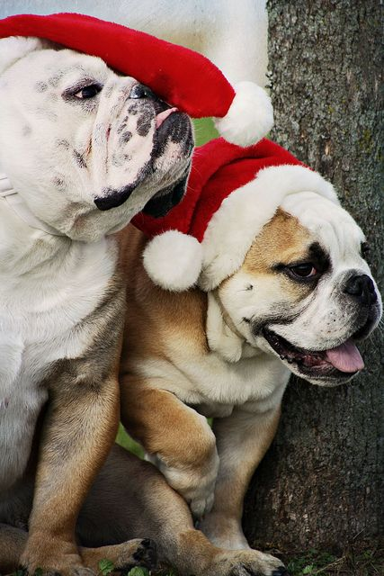 Santa hats fit perfectly on the cute bulldog pups