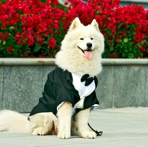 If you want your dog to look fancy for Christmas, buy him a tuxedo