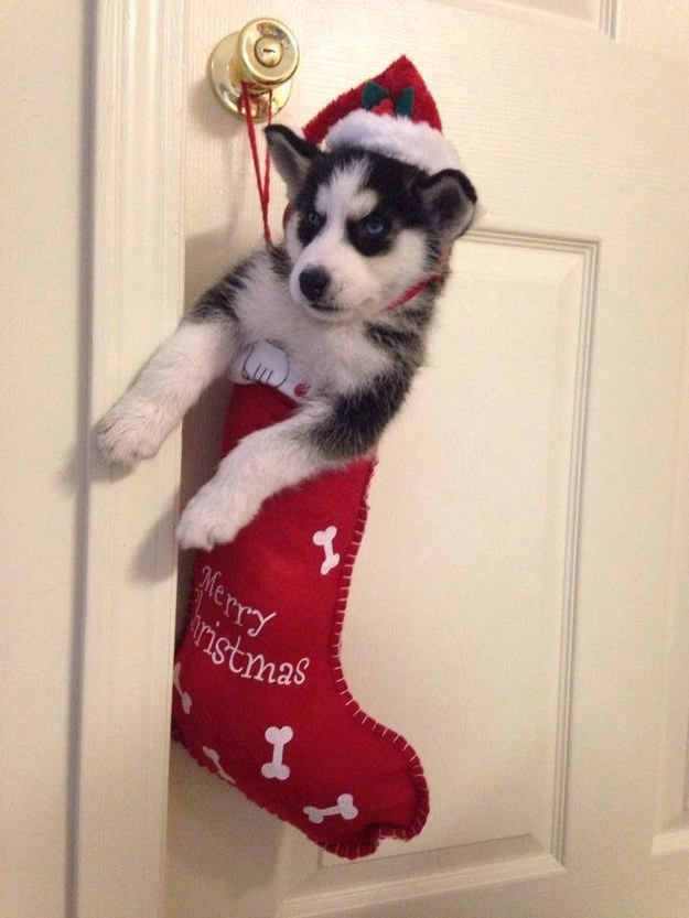 Sweet little husky in a Christmas sock