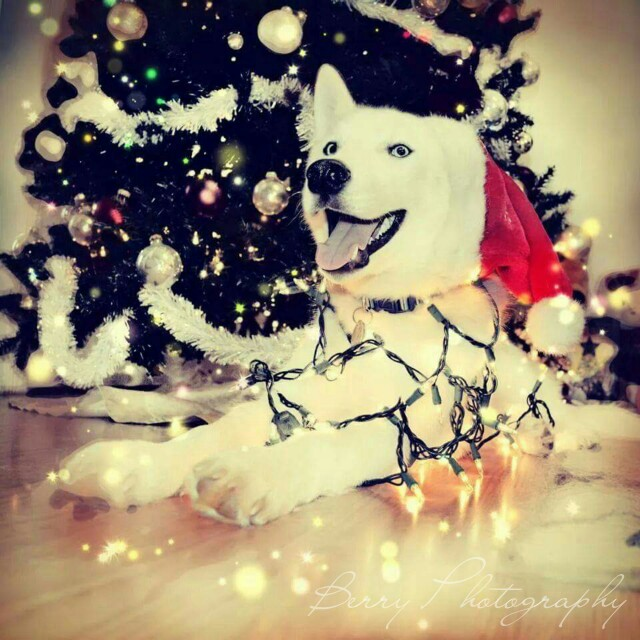 Excited Husky for holidays