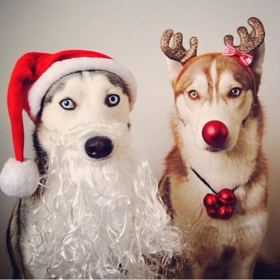 Beautiful husky pups dressed for Christmas