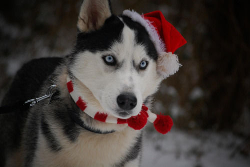 Adorable Huskies Dressed For Christmas Inside Dogs World