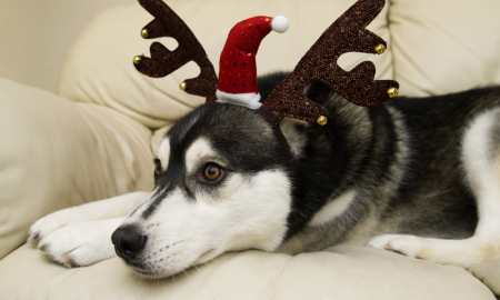 husky-for-christmas