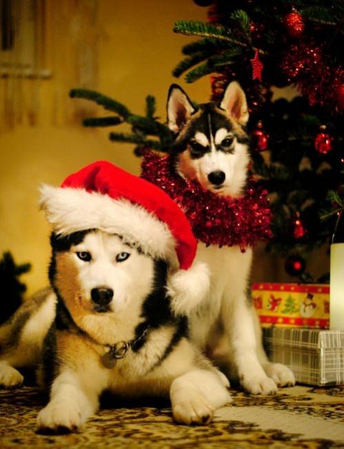 husky-for-christmas17-jpg