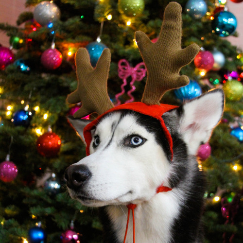 Well-known Adorable Huskies Dressed for Christmas - Inside Dogs World WA61