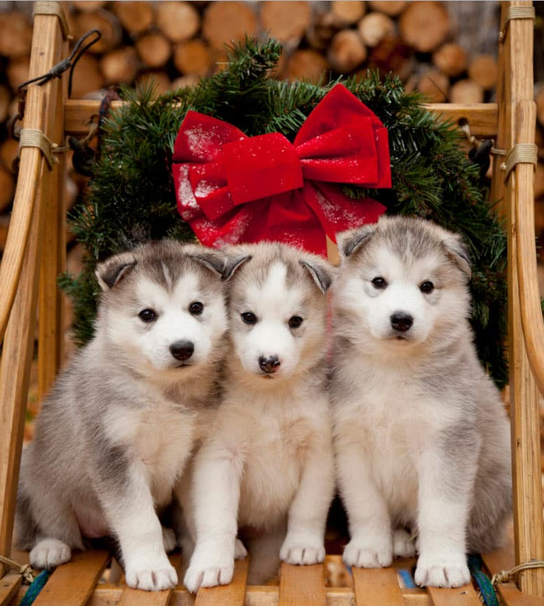 Husky for Christmas