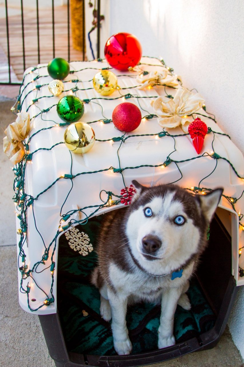 Happy husky with Christmas lights