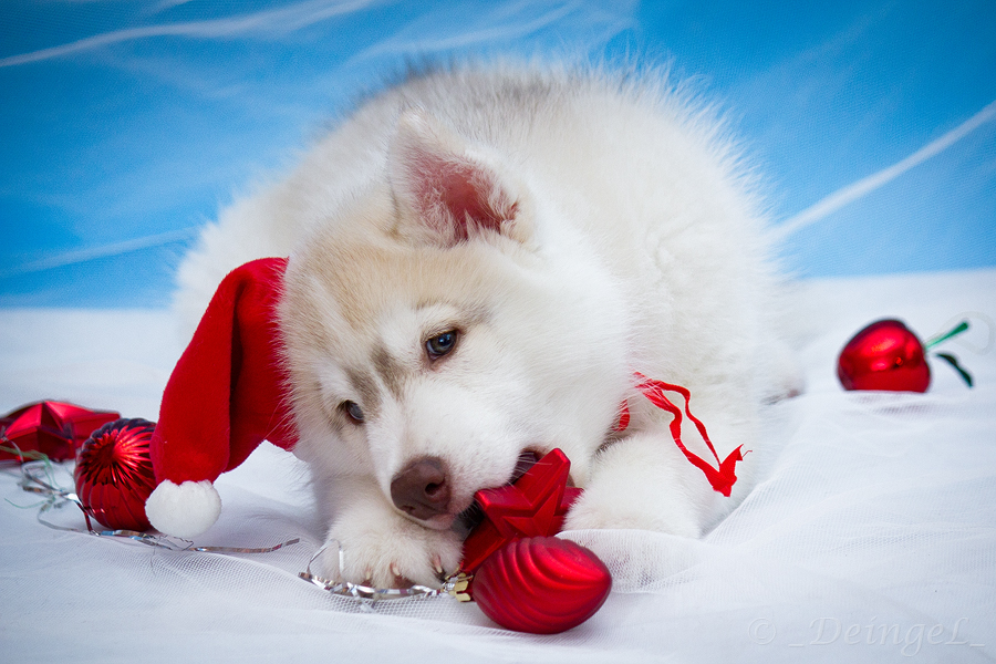 husky-for-christmas20-jpg