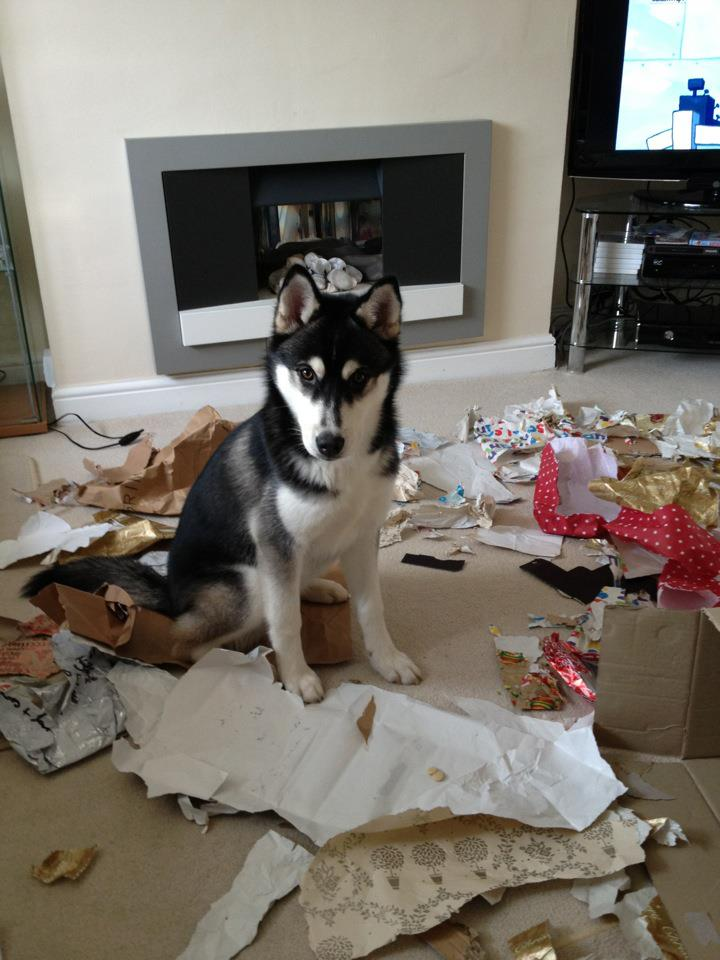 Husky destroyed Christmas wrapping paper