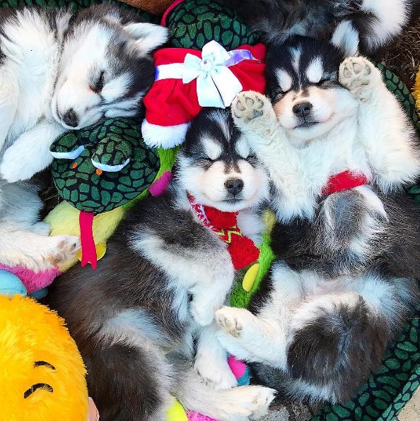 Sleepy huskies with Christmas lights