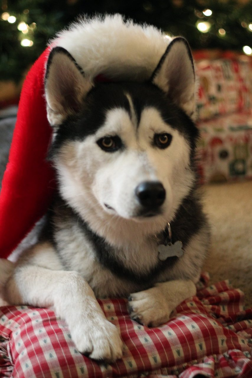 Big husky with Santa hat